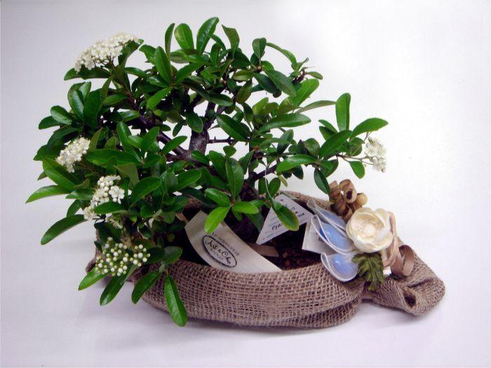 Bombo bonsai confezionato con juta