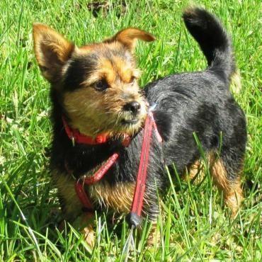 Hund, Yorkshire Terrier (Mischling, Hündin, 3 Jahre) in Meinerzhagen/Nordrhein-Westfalen