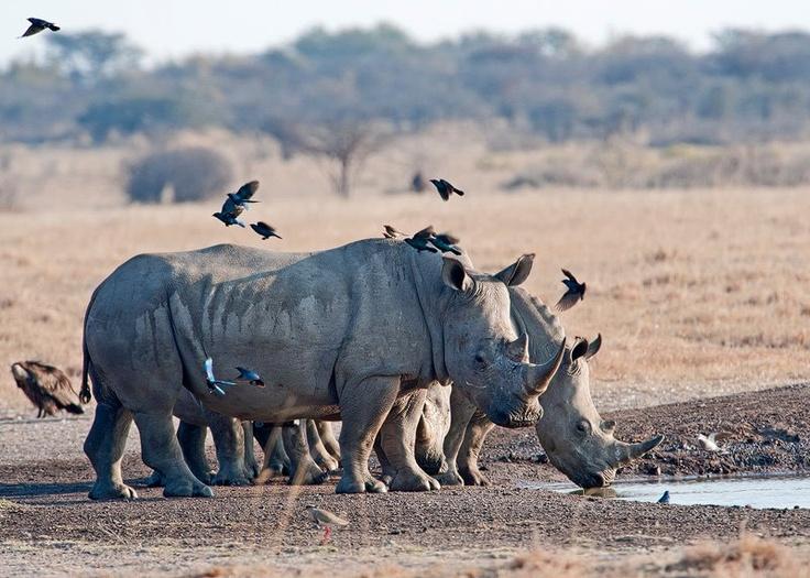 Rhino...endangered beauties.