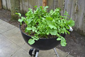 Gardening - Turning an old barbecue into a small garden.