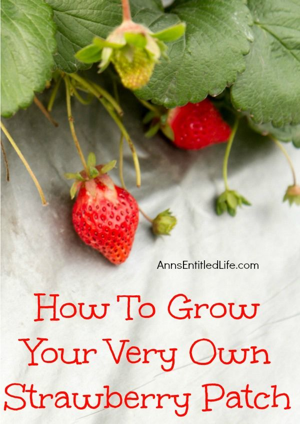 How to grow your very own strawberry patch #strawberries #gardeniing #dan330 http://livedan330.com/2015/04/19/how-to-grow-your-very-own-strawberry-patch/