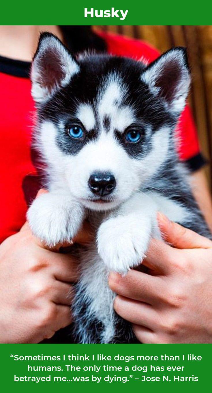 We Got Two Adorable Akc Blue Eyes Siberian Husky Puppies 10 Weeks