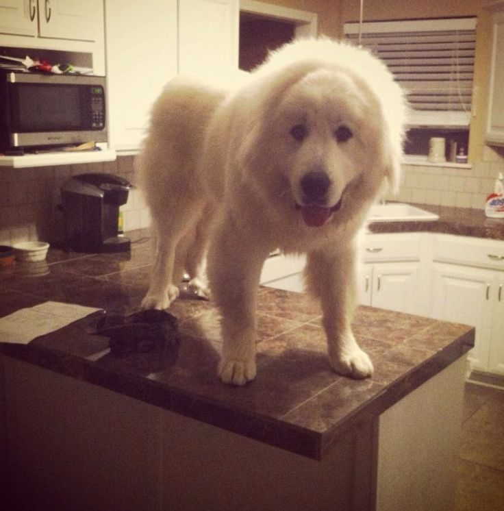 9 Big Dogs Who Have No Idea How They Got On The Counter