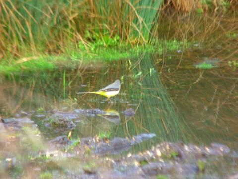 Grey Wagtail: bridge over troubled waters | Nature Notes from Dorset