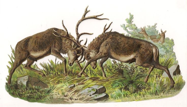 Actual Victorian Large Paper Scrap Elk / Deer Fighting with Doe Watching 11