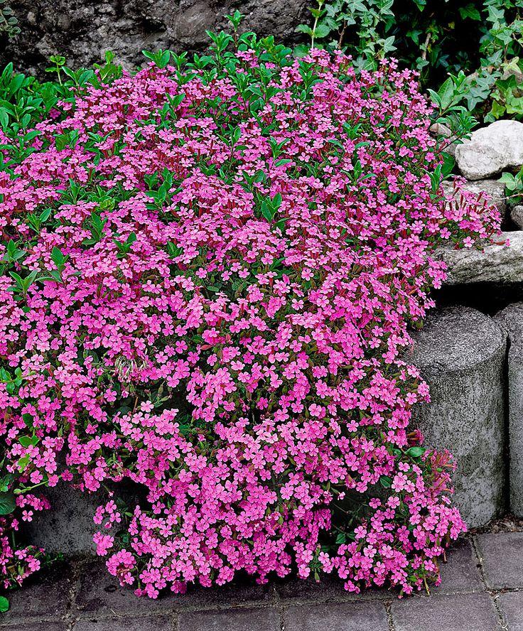 Zeepkruid (Saponaria ocymoides) bloeit met talloze, geurende bloemen. Zeepkruid groeit mooi dicht en compact. Bovendien is deze bodembedekker een sterke groeier. Het blad van Saponaria ocymoides blijft 's winters aan de plant, mits het niet al te koud wordt.