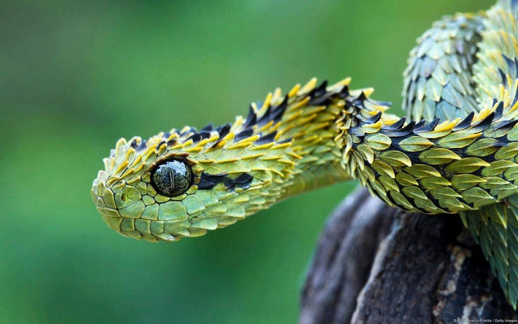 Hairy bush viperForests, Reptiles, Nature, Dragons, Bush Viper, Hunting, Africa, Snakes, Strange Animal