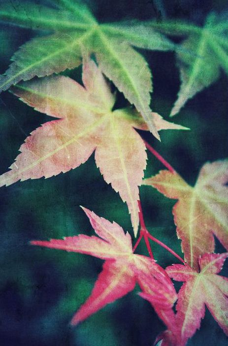 nature photograph, japanese maple, garden16x20 fine art photography