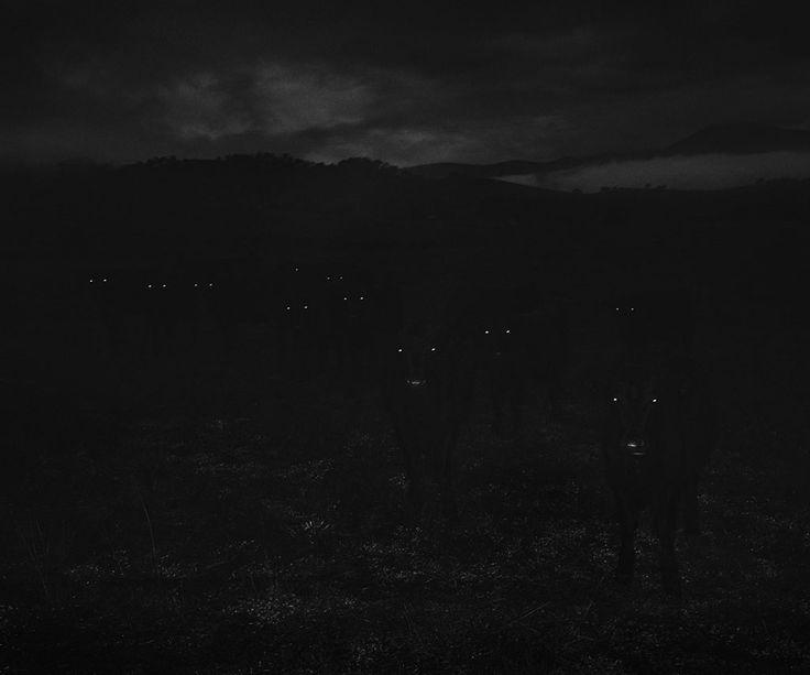 https://www.hugomichellgallery.com/wp-content/uploads/2015/03/Trent_Parke_Cows-Great-Alpine-Road-Victoria-2011.jpg