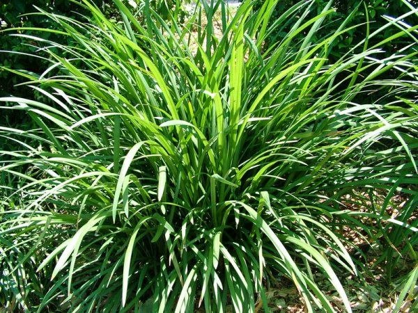 Liriope evergreen giant l m final plants backyard for Giant ornamental grass