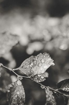Close-up photography of raindrops on leaves. Available as poster at printler.com, the marketplace for photo art. Photographer Lotta Francis.