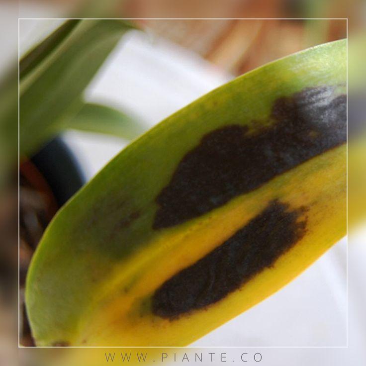 #Cuidados Como todas las plantas, nuestras #orquídeas son susceptibles de enfermar o ser atacadas por diferentes agentes patógenos. #Bacterias, #hongos, #virus, #insectos y otros pueden en algún momento atacar a nuestras plantas. No obstante, si tomamos las medidas oportunas, minimizaremos el riesgo de infección. - http://piante.co/ - #Piante #OrquídeasDeColombia #Flores #Premium #Colombia #Decoración