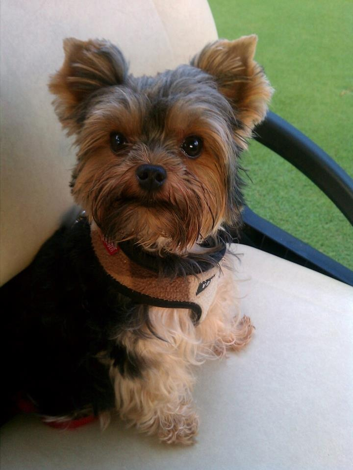 83 Best Images About My Sweet Yorkie Fargo On Pinterest