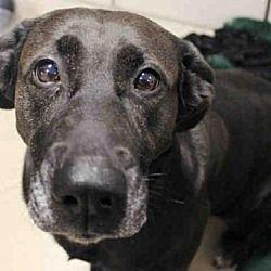 Fort Wayne, Indiana - Labrador Retriever. Meet DOLLY, a for adoption. https://www.adoptapet.com/pet/20523724-fort-wayne-indiana-labrador-retriever #labradorretriever