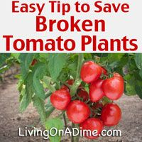 Here are some quick and easy garden planting tips for planting tomatoes and potatoes in your garden and for salvaging them when disaster strikes!