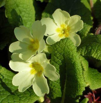 primroses (sleutelbloemen) (64 pieces)