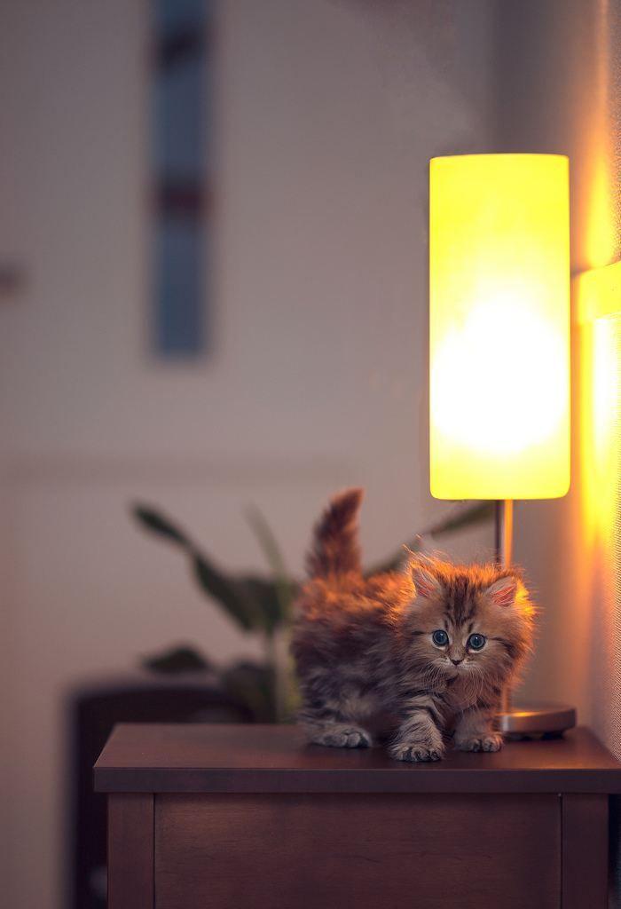 cutie pie kitten - cat