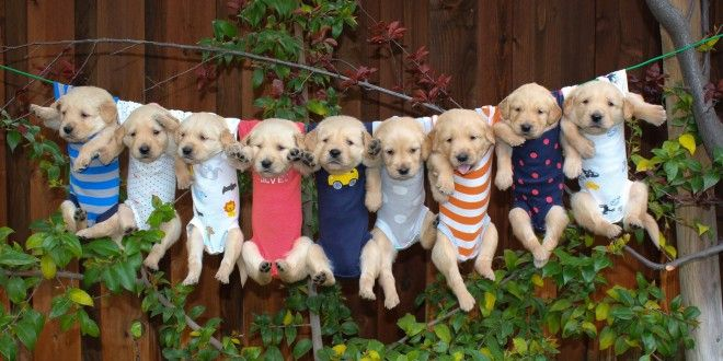 Get To Know About Golden Retriever Puppies For Sale!
