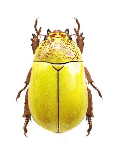 Macropoides cribicollis                                                                                                                                                                                 More