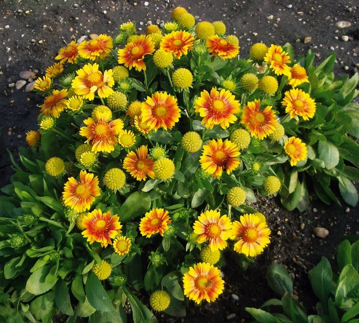 Picturesque  Best Images About Plants I Have On Pinterest  Plants  With Lovable Az Flowers   Aas Flower Award Winner With Lovely Kent Garden Show Also Fake Garden Plants In Addition Bristol Zoo Garden And National Archives Kew Gardens As Well As Roh Covent Garden Additionally New Leaf Garden Center From Pinterestcom With   Lovable  Best Images About Plants I Have On Pinterest  Plants  With Lovely Az Flowers   Aas Flower Award Winner And Picturesque Kent Garden Show Also Fake Garden Plants In Addition Bristol Zoo Garden From Pinterestcom