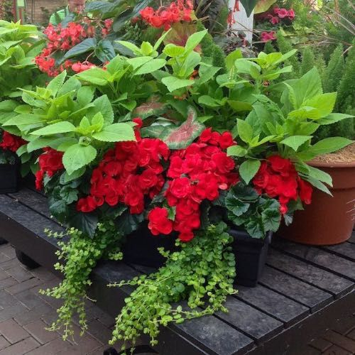 344 best images about shade container gardening on pinterest window boxes hydrangeas and planters - Container gardens for shade ...