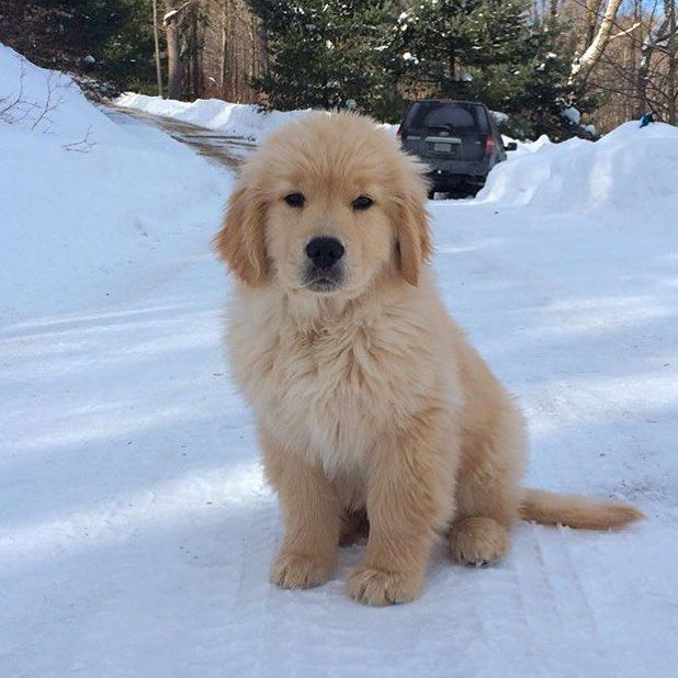 Waiting for snow days like... #welovegoldens by goldenretrievers_