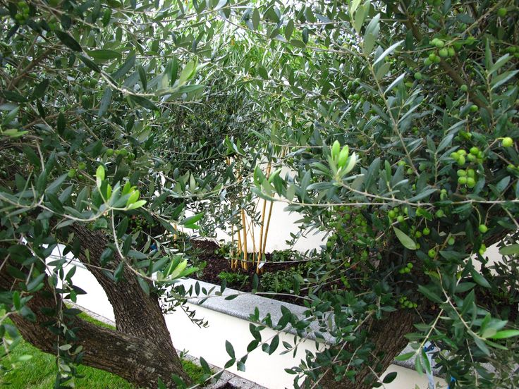 Let nature be and allow the Olive tree to instantly add time, grace and tranquility to your garden.