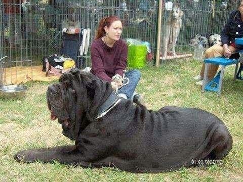 1000 Images About Huge Dogs On Pinterest Large Dog