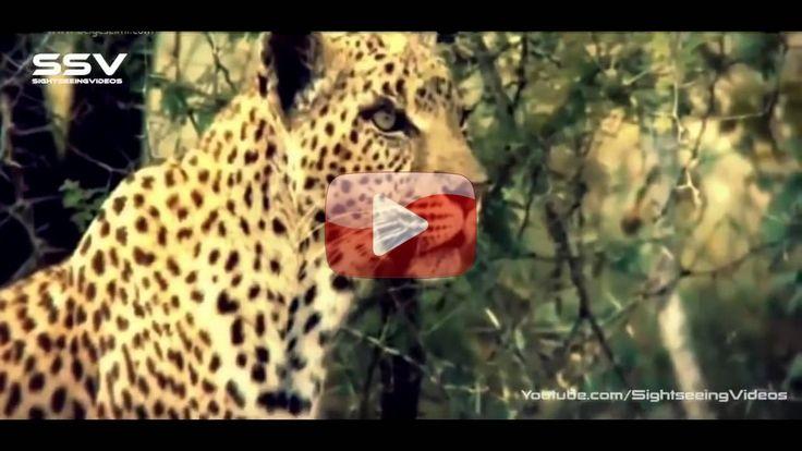 Büyük Kediler : Kraliçe Leopar (Türkçe Belgesel): Büyük Kediler : Kraliçe Leopar (Türkçe Belgesel) izlerken neden bu kadar… #Belgesel