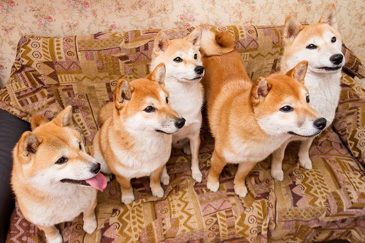 Города | Агрессия и ласка: что не так с сиба-ину – собаками, от которых без ума интернет – Афиша Daily