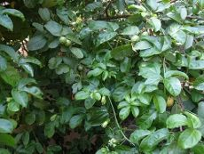 Guava Plants: How To Grow And Care For Guava Fruit Trees