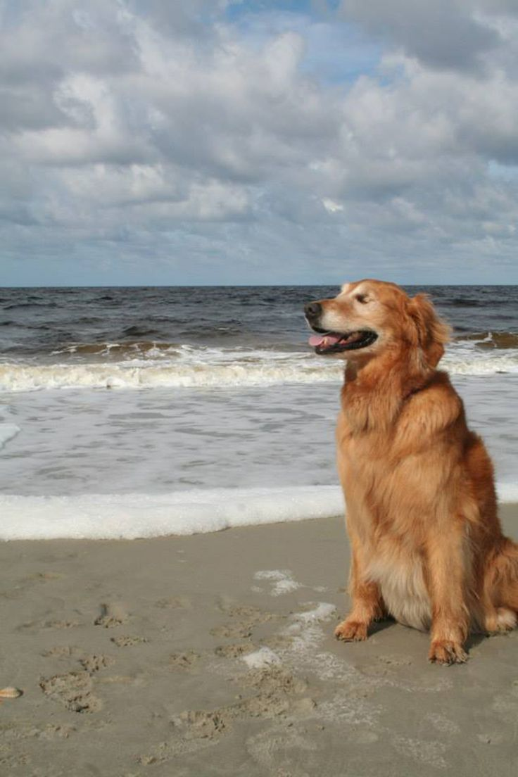 Best Blind Dog Love Images On Pinterest Animal Rescue Blind - Born blind smiley the golden retriever becomes a loving therapy dog