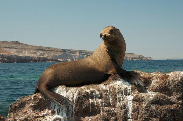 Happy Wildlife Wednesday! Adorable sea lion at Los Islotes sea lion colony near Espiritu Santo