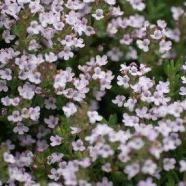 3 Thymus vulgaris (Echte Tijm)