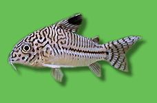 AQUARIUM GUIDE - Fische - Südamerika - Welse - Dreilinien-Panzerwels - Corydoras trilineatus