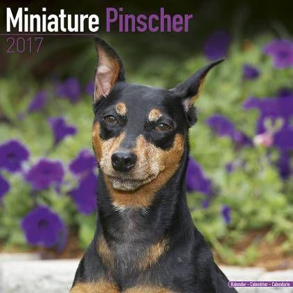 Avonside Hunde-Kalender 2017Avonside Hunde Wandkalender 2017: Miniatur Pinscher