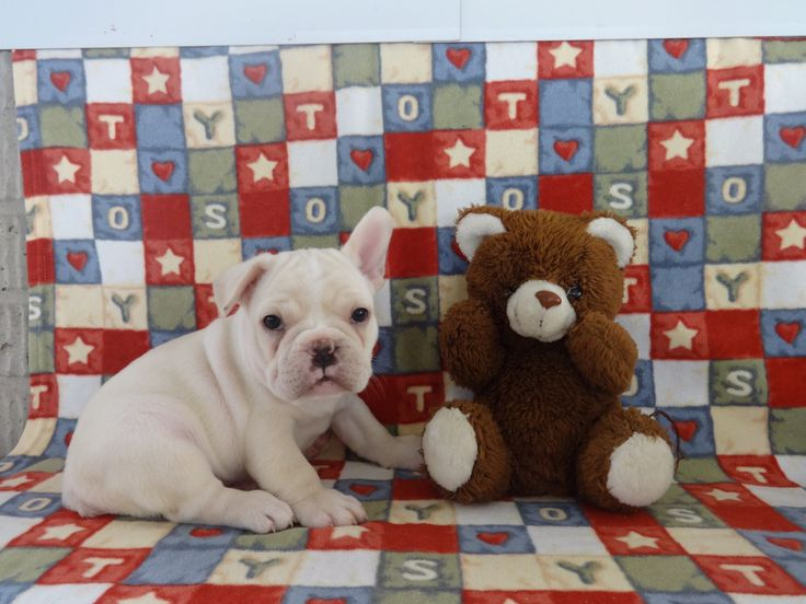 www.ThatDoggyintheWindow.com - Whitey Male Frenchie Pug, $105.00 (http://stores.thatdoggyinthewindow.com/whitey-male-frenchie-pug/)
