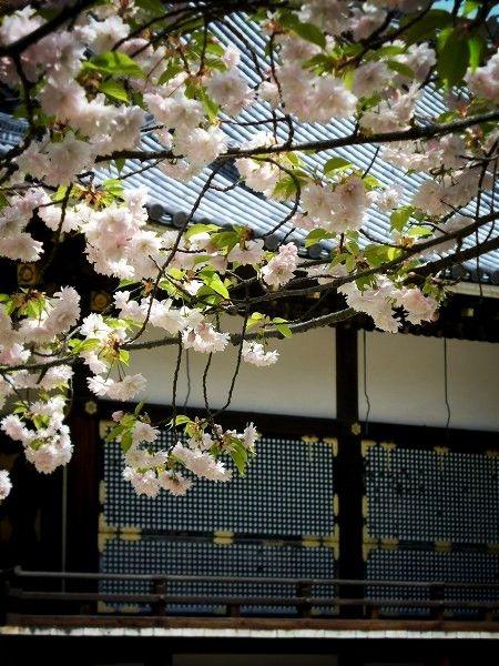 仁和寺:金堂と桜