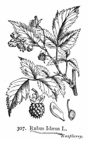 17 best images about flower specimen drawings on for Where the red fern grows coloring pages