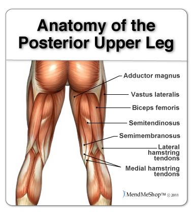 Leg anatomy and the hamstring muscles, biceps femoris, semitendinosus, semimembranosus.