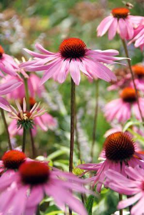 Echinacea (rode zonnehoed