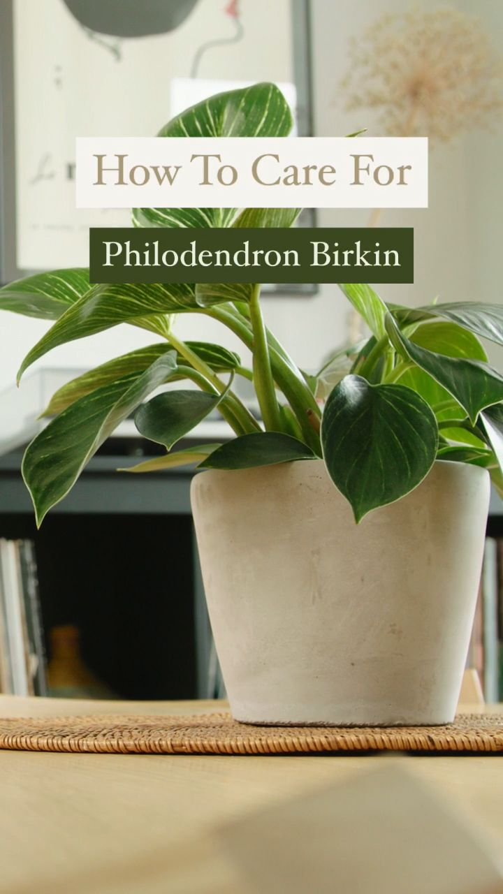 how to care for philodendron birkin