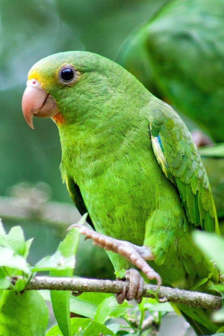 An Introduction to the Amazon Rainforest Peru, Parakeet
