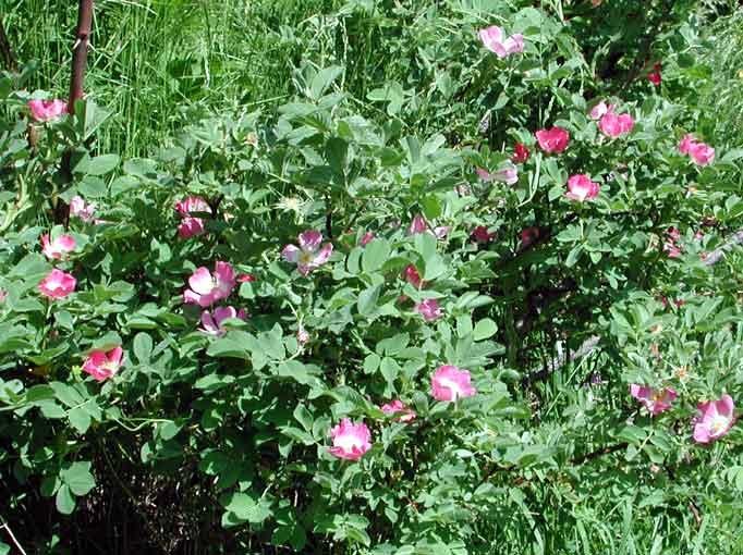 rosa villosa | rosa villosa