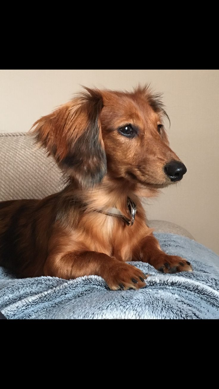 best dachshunds images on pinterest cutest dogs dachshund dog