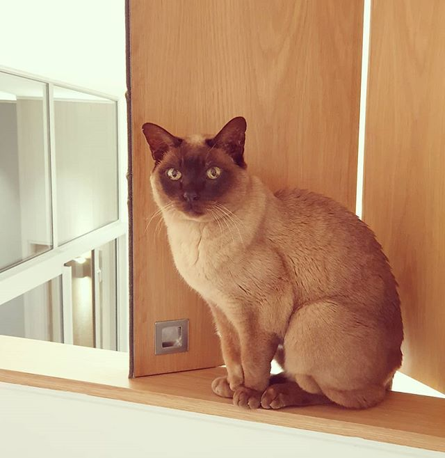 Colour Coordinated Cat Wordsworth Sitting On The Sill Of The New American White Oak Bifold Hatches Bifolddoors Bifol Brown Cat White Oak Burmese Cat