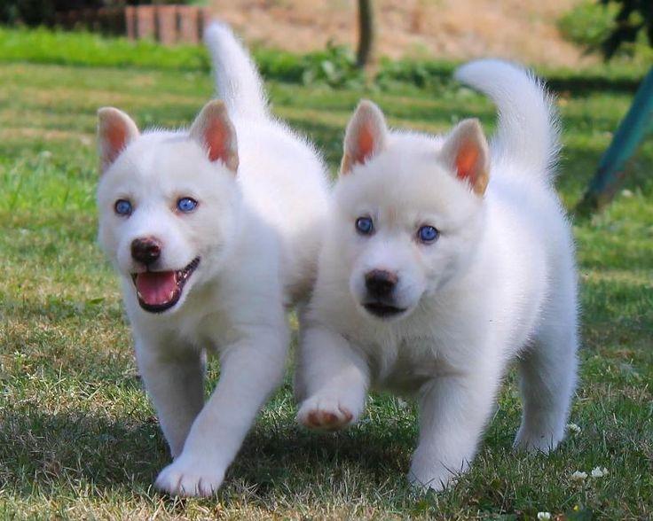 White Siberian Huskies
