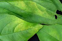 Ασθένειες φυτών- Συμπτώματα - Τεχνικές πρόληψης