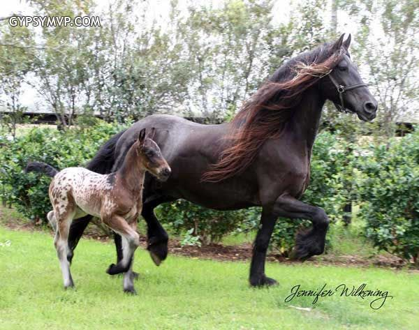 Friesian Rescue Gypsy Vanner Horse   Gypsian (Gypsy/Friesian Cross) Horse for Sale   Colt   Spotted Bay ...Look at that baby Appaloosa spotted foal
