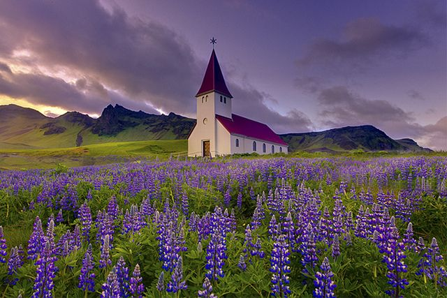 Fields Of Lupine In Iceland: Travelphotographi Travelinspir, Beautiful Church, Lupin Fields, Kevin Mcneal, Church In Iceland,  Church Building, Landscape Photography, Amazing Places, Flower Fields
